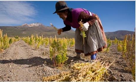 2013年はキヌア国際年。世界の飢餓と栄養失調問題を解決する食品とて注目